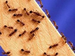 Как избавиться от муравьев дома