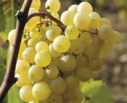 Как выбрать вкусный виноград