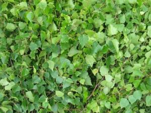 Лечение отеков березовыми листьями