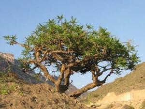 Дерево ладан