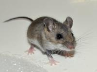 Чем мыши опасны для человека