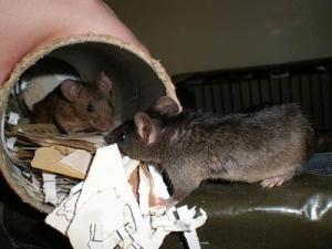 Чем опасны мыши
