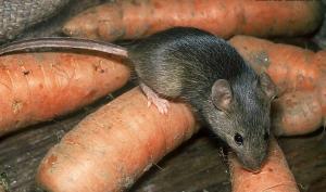 Мыши опасны для человека