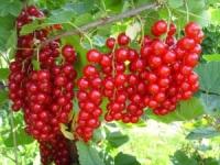 Красная смородина - полезные свойства и противопоказания