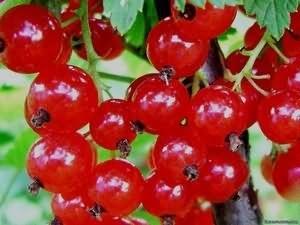 Красная смородина - полезные свойства