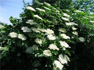 Лечебные свойства цветов бузины