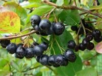 Черноплодная рябина - лечебные свойства и противопоказания