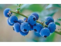 Голубика полезные свойства и противопоказания