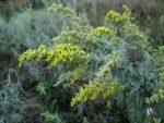 Полынь – лечебные свойства и противопоказания