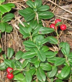 Брусника листья