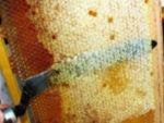 Забрус пчелиный – лечебные свойства, как принимать