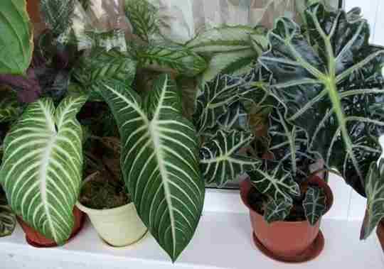 Комнатное растение алоказия