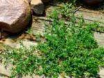 Спорыш лечебные свойства и противопоказания