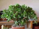 Денежное дерево (Толстянка) - уход в домашних условиях