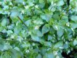 Трава мокрица лечебные свойства, применение
