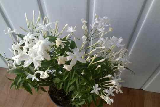Цветет комнатный жасмин