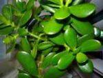 Денежное дерево - лечебные свойства