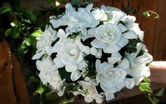 Гардения цветет