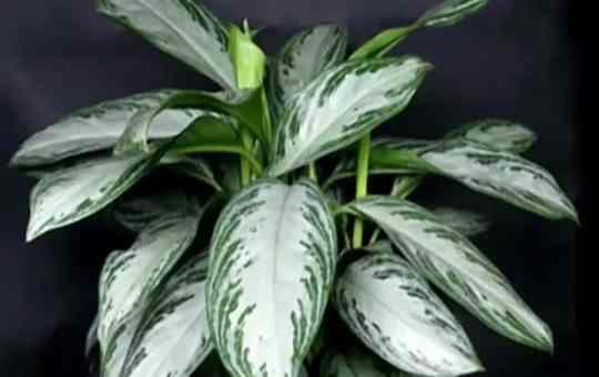 Комнатное растение Аглаонема