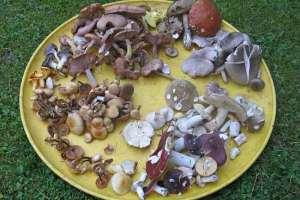 Какие грибы можно собирать