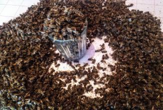 Пчелиный подмор – лечебные свойства