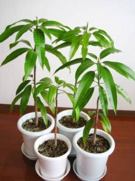 Проращивание манго из косточки