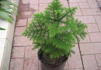 Араукария - сорта для дома и дачи, требования, выращивание, уход
